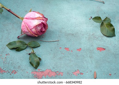 Withered pink rose on old turquoise metal plate background, selective focus