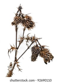 withered plant with frost in winter on white