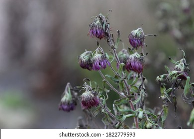 withered purple autumn flowers, blur background