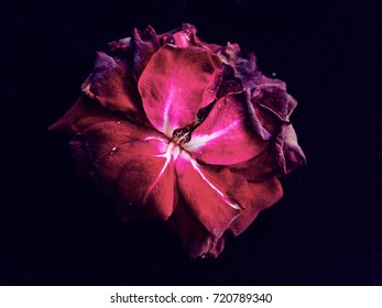 withered rose in front of black background