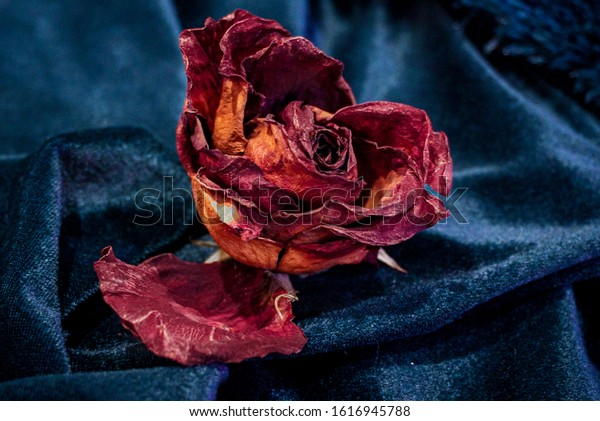 Withered rose over blue background