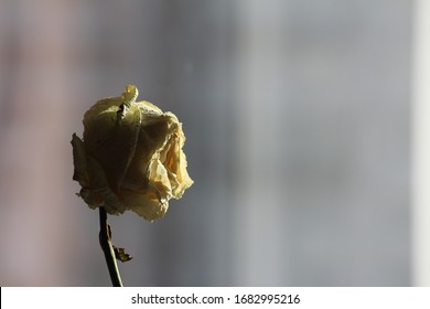 Withered rose of pale yellow cream color with dark green dried leaves close-up, abstract blurred background, window, window sill. A symbol of separation, sadness, beautiful death.
