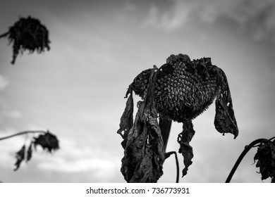 Withered sunflower.
