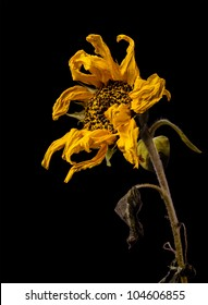 Withered sunflower on black background,isolated