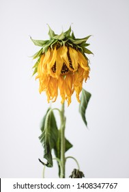 Withered sunflower on white background