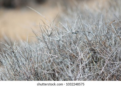 withered thorn shrub bush in the summer desert heat usa grey background texture