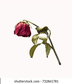 Death of rose images stock photos vectors shutterstock withering red roses isolated on white background mightylinksfo