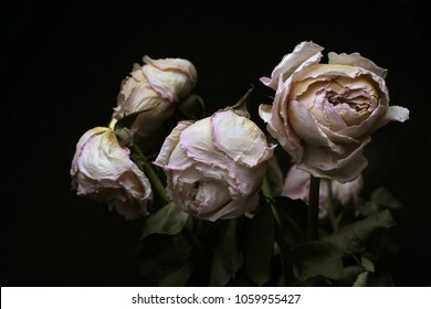 Withering rose on a black background