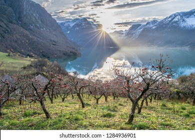Without the sun there will never be life . Photo from the apple garden in the small village of Flo in Oppstryn , in Norway .