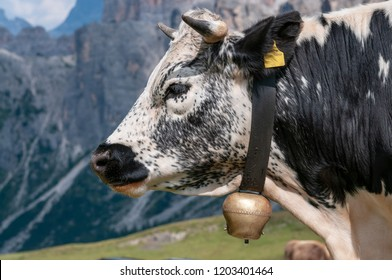 A witrik Cow in the Italian Dolomites wearing a traditional Cowbell