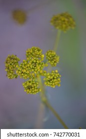 Woad Flower from above