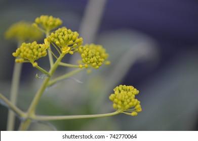 Woad flower on dark background