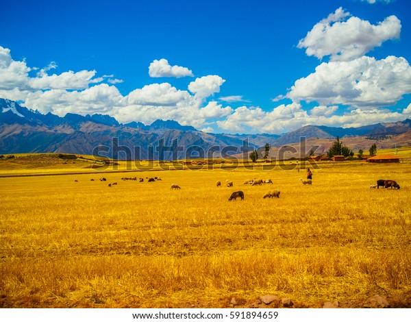 Woamn herding sheeps in Peruvian field during winter