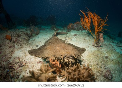 Tasselled Wobbegong Images Stock Photos Vectors