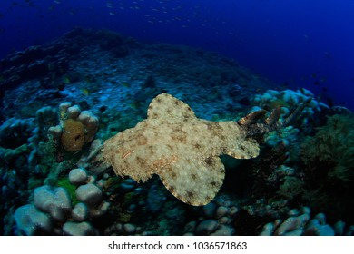 Wobbegong shark swimming over the reef