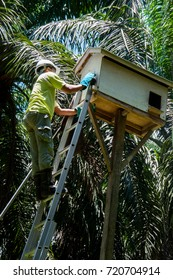 Wokers check a Barn Owl nesting box in oil palm plantation