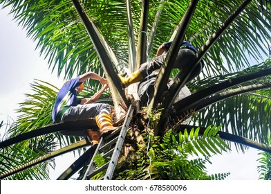 wokers making a control polination jobs in a oil palm tree for germinated oil palm seeds.