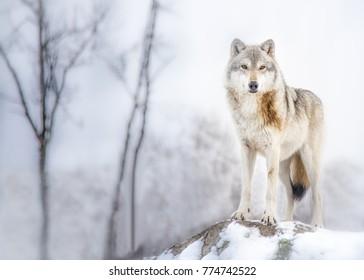 The wolf of Alaska