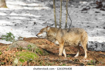 Wolf in the Bavarian Forest National Park, Bavaria, Germany