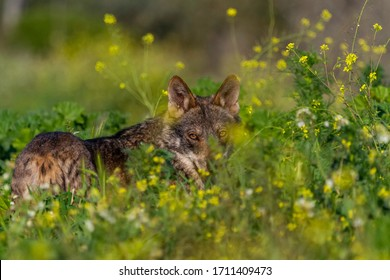 wolf behind the lurking foliage