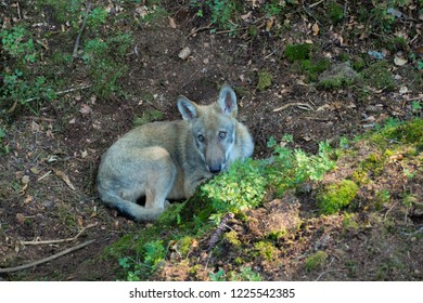 Wolf in Bohemia Forest