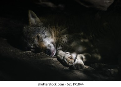Wolf - Canis lupus, Europe
