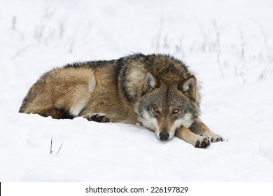 Wolf, Canis lupus, resting in the snow