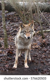 The wolf costs on the fallen-down foliage