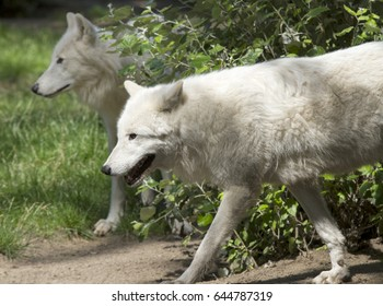 Wolf couple walking through bushes