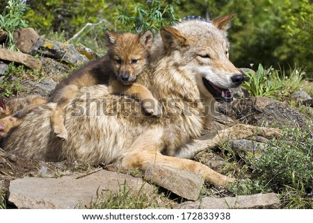 Wolf Cub And Mother