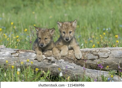 Wolf cubs,photographed near their den in Montana