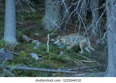 Wolf in Czech forest