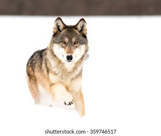 Wolf in deep snow with one paw up