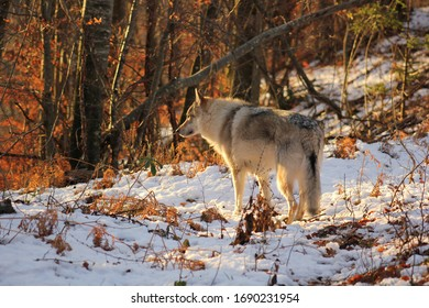 A wolf dog between autumn and winter