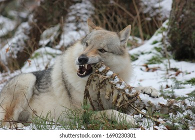 A wolf dog found some leftovers after wolf pack killed its prey