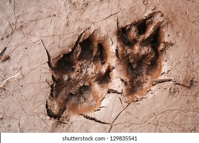 Wolf dog paw tracks in mud