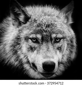 Wolf eyes. Black and white head shot of a wolf stare.