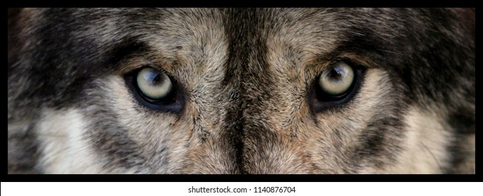 wolf eyes close up