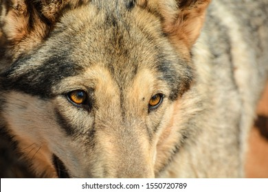 Wolf eyes staring in the distance