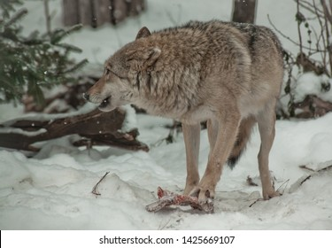 A wolf (female wolf) snarls protecting its prey meat. A wolf in the snow in a winter forest is a powerful predator.
