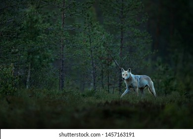 Wolf from Finland. Gray wolf, Canis lupus, in the spring light, in the forest with green leaves. Wolf in the nature habitat. Wild animal in the Finland taiga. Wildlife nature, Europe. Night forest.