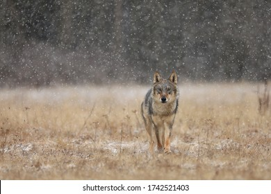 Wolf from Finland. Gray wolf, Canis lupus, in the early winter, on the meadow near forest. Wolf in the nature habitat. Wolf looking on prey