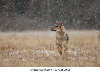 Wolf from Finland. Gray wolf, Canis lupus, in the early winter, on the meadow near forest. Wolf in the nature habitat. Wild.Animal stanging guard