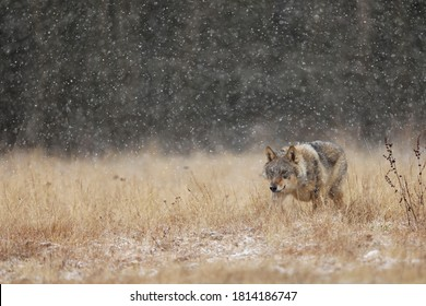 Wolf from Finland. Gray wolf, Canis lupus, in the early winter, on the meadow near forest. Wolf in the nature habitat. Wild. Animal looking for prey
