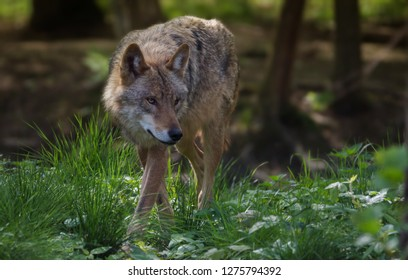 Wolf Forest Europe