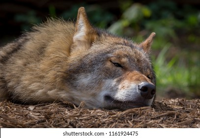 Wolf in forest Germany