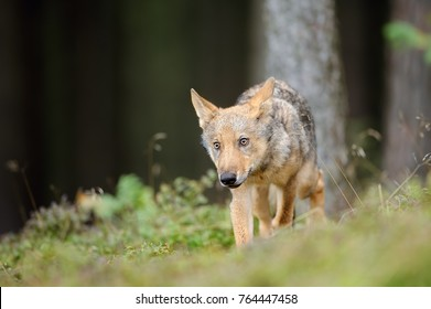 Wolf in forest in obey position from front side