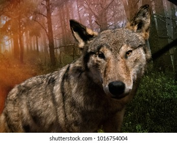 Wolf in forest on sunrise