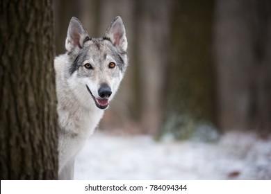 wolf in forrest in winter