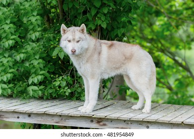 Wolf grey color. An adult male stands on a wooden platform. age 2 years